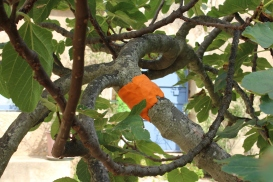 Polly Kelsall - wrapped fig tree